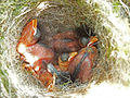 Dunnock (Hedge Sparrow) Nest 24-04-11 (5647300345).jpg