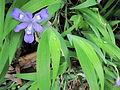 Dwarf Crested Iris (7125454557).jpg