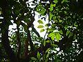 Dysoxylum binectariferum (8257384660).jpg