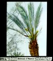 ETH-BIB-Las Palmas (Gran Canaria), blühender -männlicher- Phoenix-Dia 247-07368.tif