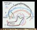 ETH-BIB-Schädel-Profile, Homo Heidelbergensis Pithecanthropus, Anthropopithecus (Schimpanse)-Dia 247-Z-00038.tif