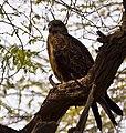 Eagle (6891056461).jpg