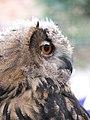 Eagle Owl (Bubo bubo) - geograph.org.uk - 517621.jpg