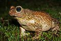 Eastern Giant Toad (Peltophryne peltocephala) (8573972369).jpg