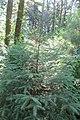 Eastern Hemlock 5155.jpg