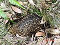 Echidna trying to hide.jpg