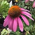 Echinacea purpurea IMG 5984.jpg