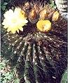 Echinopsis formosa 2.jpg