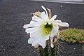 Echinopsis lageniformis flowering 03.jpg