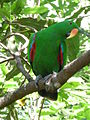 Eclectus roratus -male in a tree.jpg