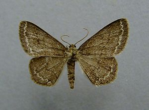 Engrailed (moth) - Female