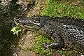 Ee crocodile cebu zoo a.jpg