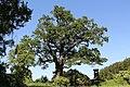 Eggenburg - Naturdenkmal HO-101 - Eiche (Quercus).jpg