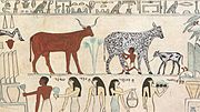 Early domestication: cow being milked in ancient Egypt.