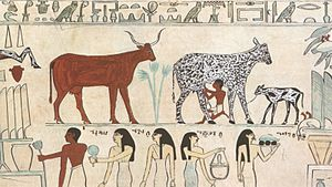 Dairy farming - Milking cattle in ancient Egypt