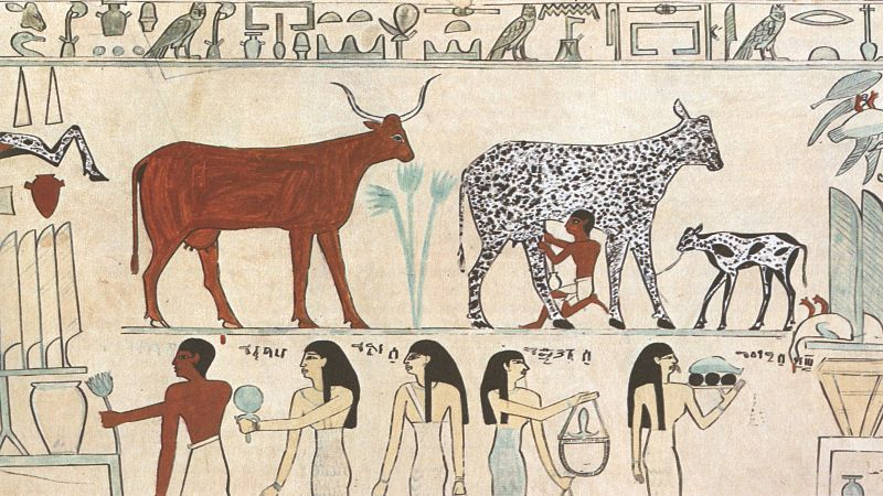 Domesticated cow being milked in Ancient Egypt.