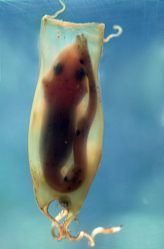 Small-spotted catshark - Egg with mature embryo
