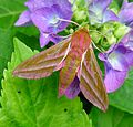 Elephant Hawkmoth. Deilephila elpenor - Flickr - gailhampshire (6).jpg