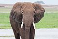 Elephant bull amboseli-JoeMilmoeUSFWS (6987533705).jpg