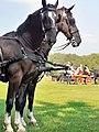 Em - Equus caballus - 48.jpg