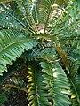 Encephalartos altensteinii KirstenboshBotGard09292010D.JPG