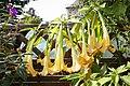 Engelstrompete (Brugmansia) - Flickr - blumenbiene.jpg