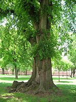 English Elm Tree on Trinity Quad English Elm Tree on Trinity College Quad, Hartford, CT - June 15, 2011.jpg