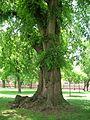 English Elm Tree on Trinity College Quad, Hartford, CT - June 15, 2011.jpg