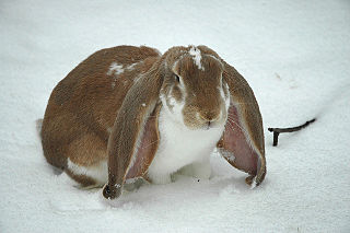 Lop rabbit Wikimedia disambiguation page