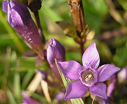 definition of gentianella