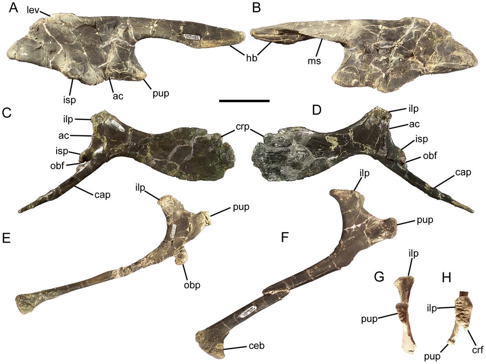 Eolambia pelvis