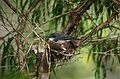 Eopsaltria georgiana -Northcliff, Western Australia, Australia -nest-8.jpg
