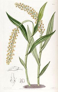 <i>Epidendrum armeniacum</i> species of plant