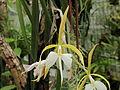 Epidendrum falcatum-IMG 2144.jpg
