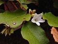 Epigaea repens - Trailing arbutus 2.jpg