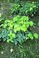 Epimedium pinnatum subsp colchicum kz3.jpg