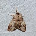 Erebidae (33068086190).jpg