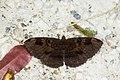 Erebus caprimulgus (28057745730).jpg