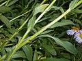 Erigeron pulchellus 2017-06-25 3120.jpg