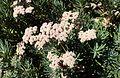 Eriogonum arborescens kz2.jpg