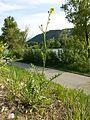 Erucastrum nasturtiifolium sl4.jpg