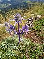 Eryngium melanargia galathea.jpg