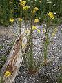 Erysimum hieracifolium 003.JPG