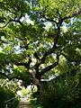 Erythrina corallodendron als jardins del Teatre Grec P1250860.jpg