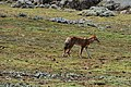 Ethiopian wolf, Sanetti Plateau, Bale Mountains National Park (11) (29209089471).jpg