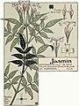 Etude de la plante - p.55 fig.64 - Jasmin.jpg