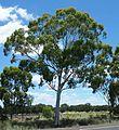 Eucalyptus thozetiana.jpg