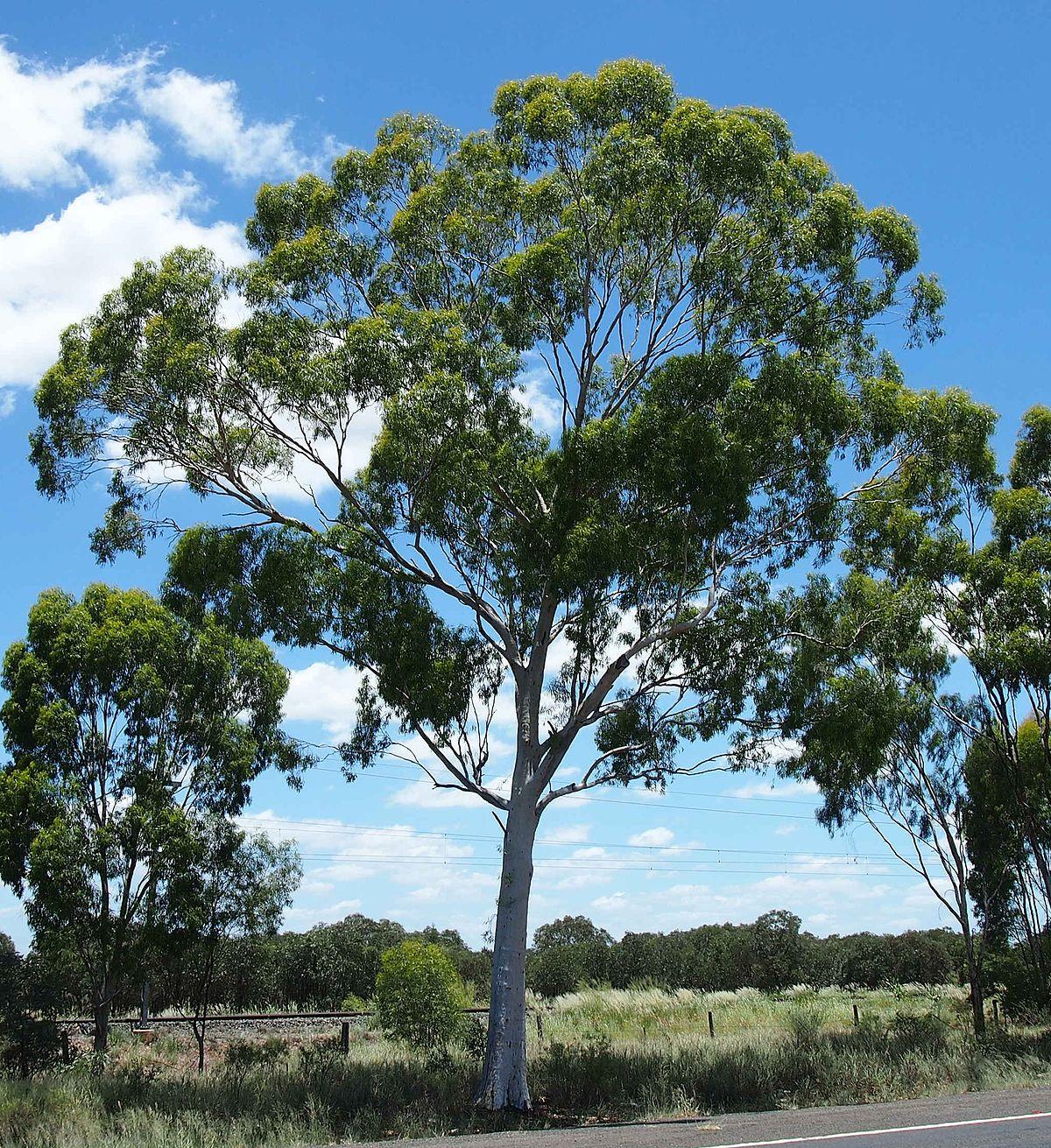 eucalyptus thozetiana wikipedia. Black Bedroom Furniture Sets. Home Design Ideas