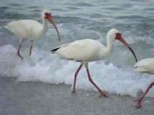 File:Eudocimus albus -Bonita Beach, Bonita Springs, Florida, USA-8.ogv