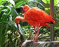 Eudocimus ruber IMG 4990 red ibis.jpg